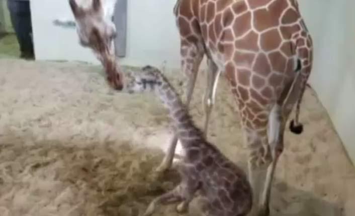 Yavru zürafa ilk adımlarını attı!