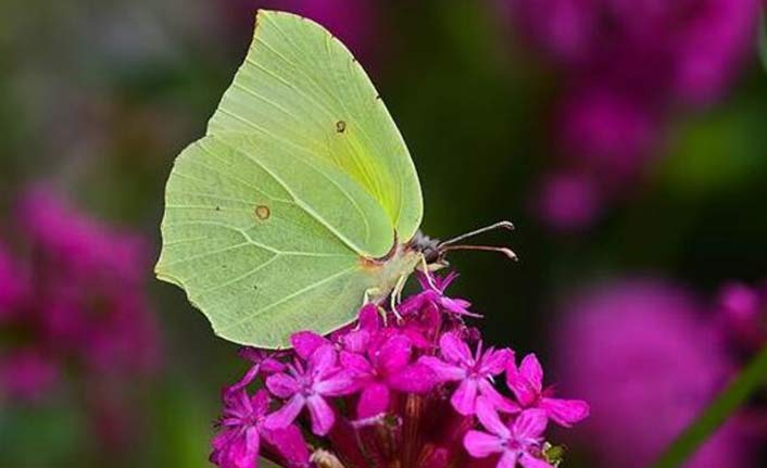 Yeni kelebek türüne rastlandı