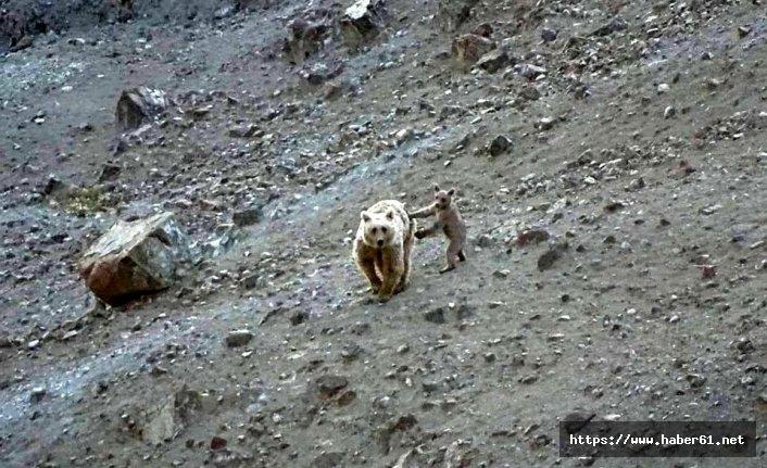 Anne ayı ve yavrusu yiyecek ararken görüntülendi