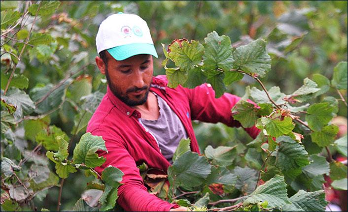 Fındık işçilerinin buruk bayramı