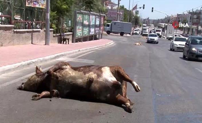 Kurbanlıklardan artakalanlar, TIR'dan caddeye döküldü