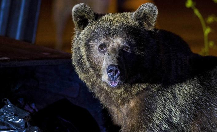 Aç kalan ayılar yerleşim bölgesine indi