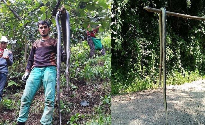 Fındık bahçelerinde yılan korkusu