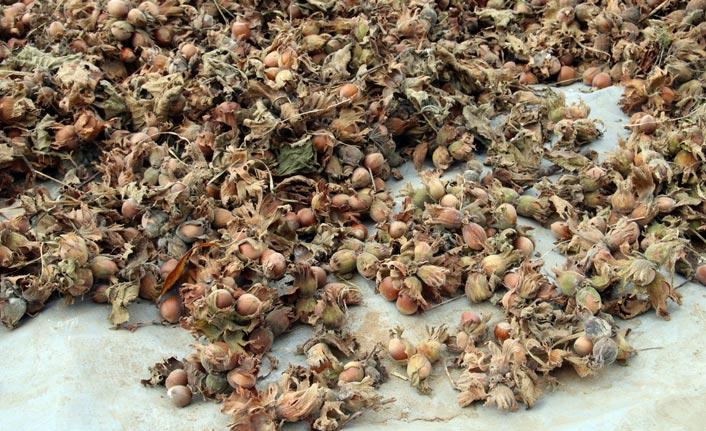 Fındık üreticisine 'aflatoksin' uyarısı