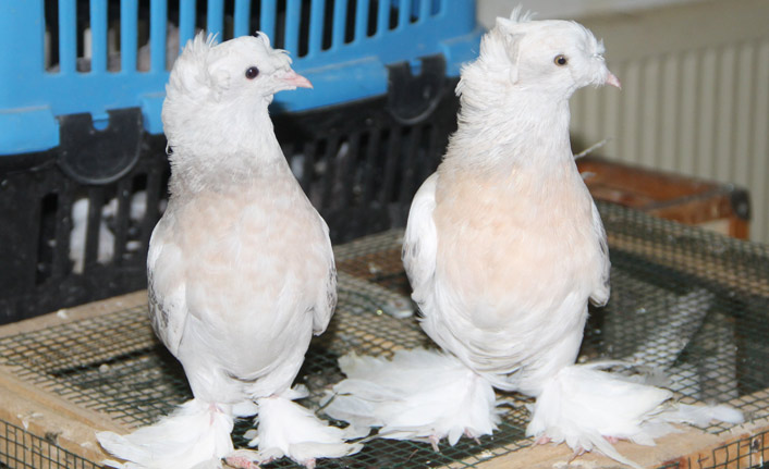 Bu güvercinlerin fiyatı arabalarla yarışıyor