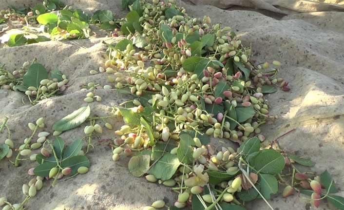 'Yeşil altında' yılın ilk hasadı başladı
