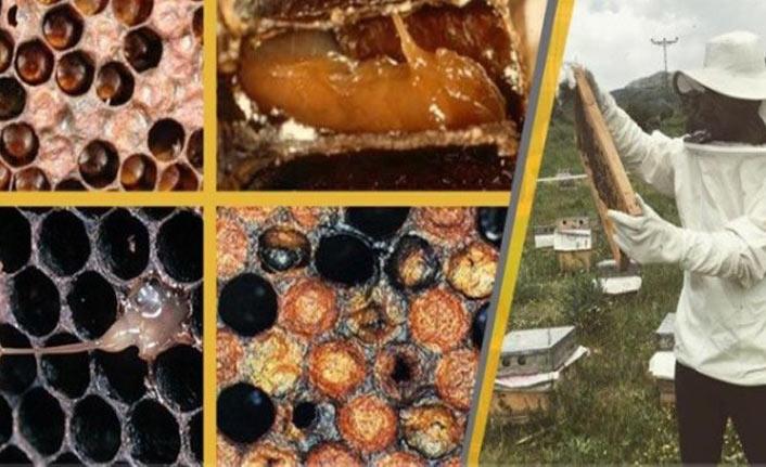 Arıcılar Amerikan yavru çürüklüğü hastalığına karşı uyardı
