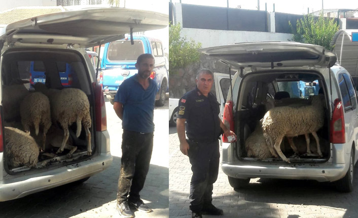 Koyun hırsızları yakalandı!