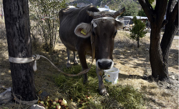 Bayburt'tan kaçan inek Gümüşhane'de bulundu
