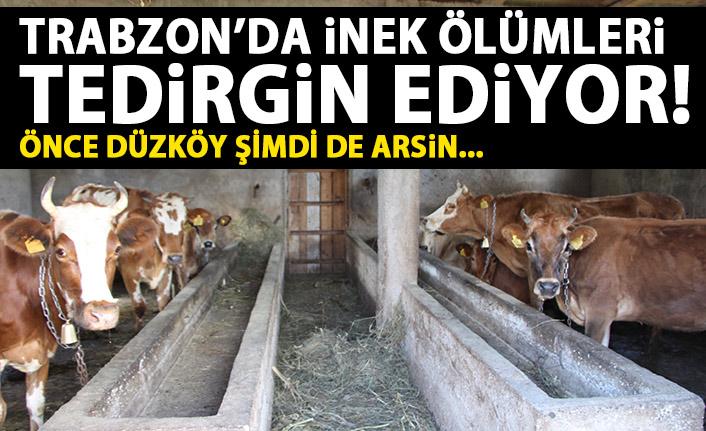 Trabzon'da inek ölümleri tedirgin ediyor