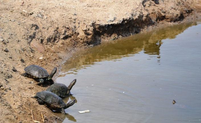 Ayvalık'ta dere kaplumbağaların akınına uğradı
