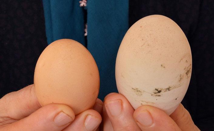 Dev yumurta görenleri şaşırttı