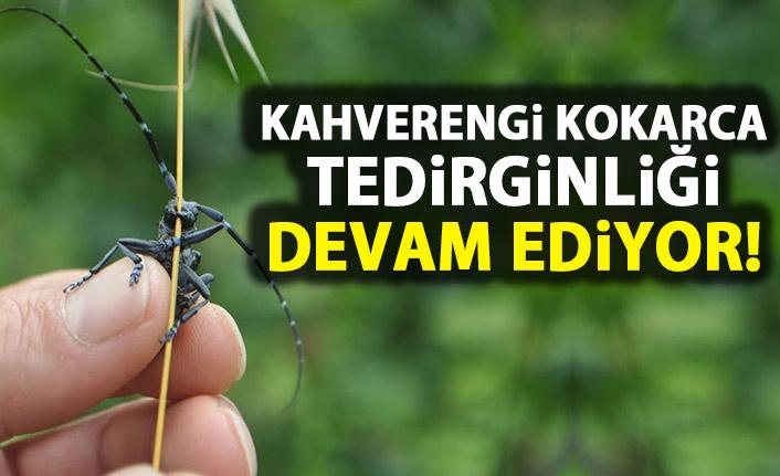 Trabzon yazın fındığa dadanan 'kahverengi kokarca'da kış tedirginliği