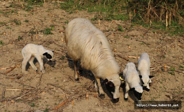 Damızlık koyun üçüz doğurdu