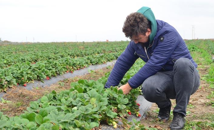 Kariyerini bıraktı, Kasım ayında doğal çilek yetiştirmeye başladı