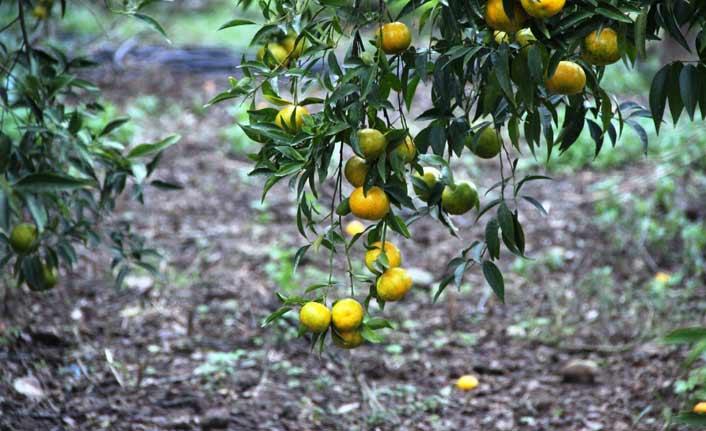 Bodrum'da mandalina hasadı başladı