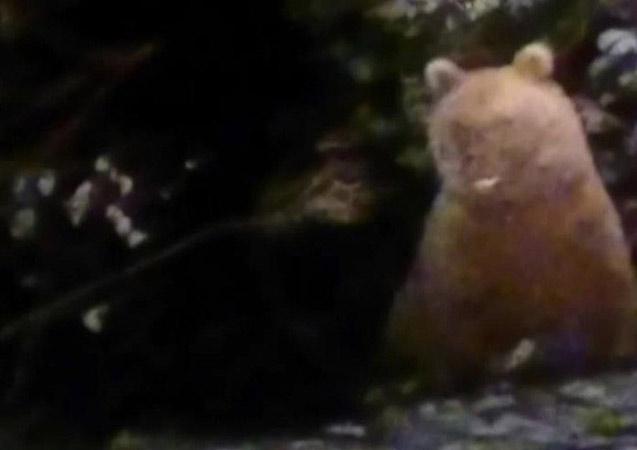 Gümüşhane'de bu ayılar kış uykusuna yatmamış