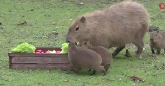 Yavru kapibaralar ilgi odağı oldu