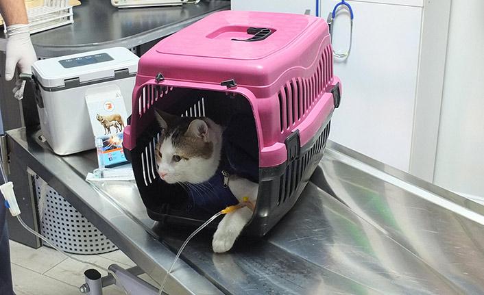 Karaciğeri hasar gören kediye doku nakli