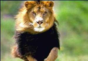 O Karadeniz'in tek aslanı değil!
