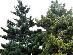 Trabzon'da çam ağacı hırsızlığı