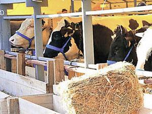 Ahırdaki ineklerine haciz konuldu