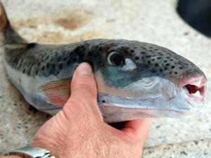 Balıkçıların ağına zehirli balık takıldı