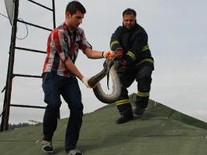 İzmit'de piton yılanı paniği