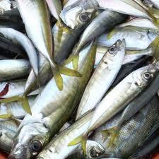 Doğu Karadeniz'de İstavrit Balığı Yetiştiriciliği