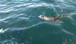 Karadeniz'de şaşırtan misafir: Fok balığı...