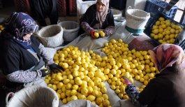 Limon üreticisi çözümü yatakta arıyor