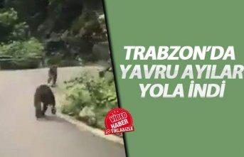 Trabzon'da yavru ayılar karayoluna indi