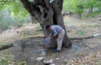 300 yıllık dut ağacı kurumaya başladı