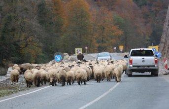 Koyunlar karayolunu tıkadı