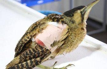 Nesli tükenmekte olan 'balaban kuşu' yaralı...