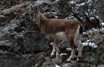 Gümüşhane dağlarının süsü yaban keçilerinin...