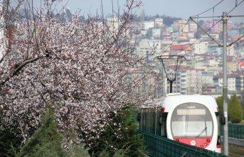 Çiçek açan ağaçlar şehre renk kattı