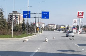 Başıboş kazlar trafiği tehlikeye düşürdü