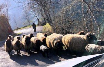 Koyunların yayla göçü başladı