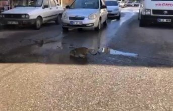 Çukurda su içen kedi trafiği durdurdu