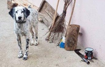 Kayıp köpeği 'Çakır'ı bulana para ödülü verecek!