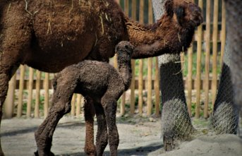 Avrupa' nın en büyük doğal yaşam parkında doğan yavru deve, ilgi odağı oldu