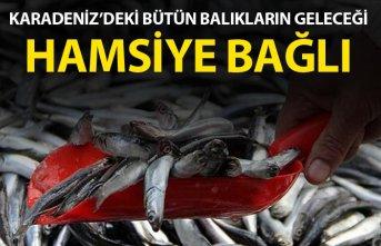 Karadeniz'deki balıkların geleceği Hamsiye bağlı