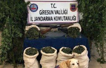 Giresun'da uyuşturucu operasyonları