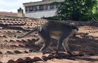 Maymun ortalığı birbirine kattı!