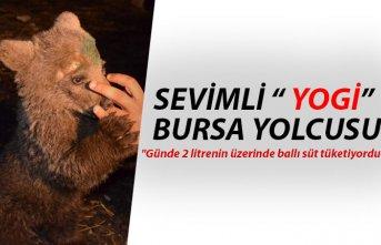 Sevimli ayı 'Yogi' Bursa yolcusu