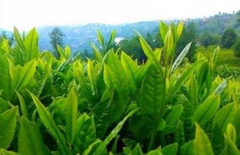 Eynesil'de üretici özel sektördeki çay fiyatından şikayetçi