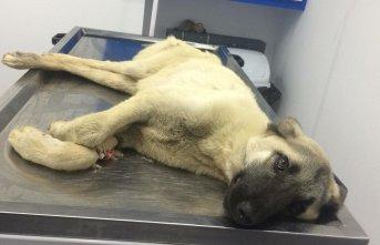 Otomobilin çarptığı köpek tedavi altına alındı