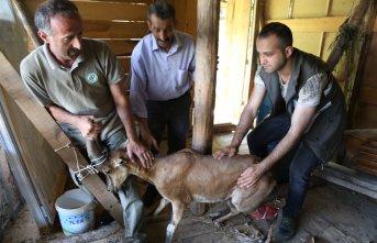Köpeklerin saldırdığı keçiyi güvenlik görevlisi kurtardı