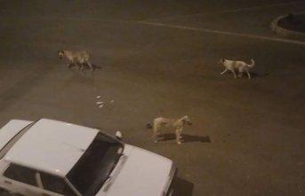 Sokak köpekleri vatandaşları korkutuyor
